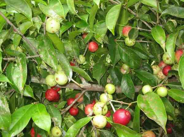 Diet Menu Garcinia Tree